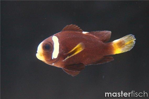 McCullochs Anemonenfisch (Nachzucht)