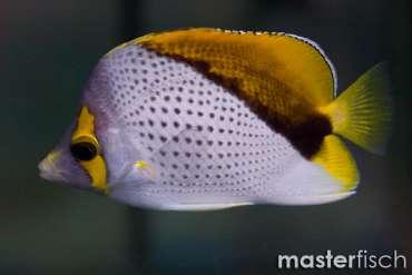 Marqueas-Falterfisch