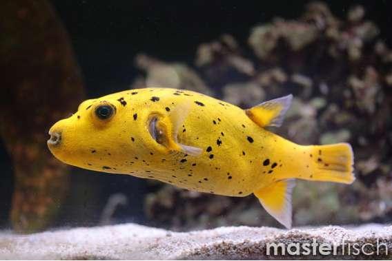 Zitronen-Kugelfisch