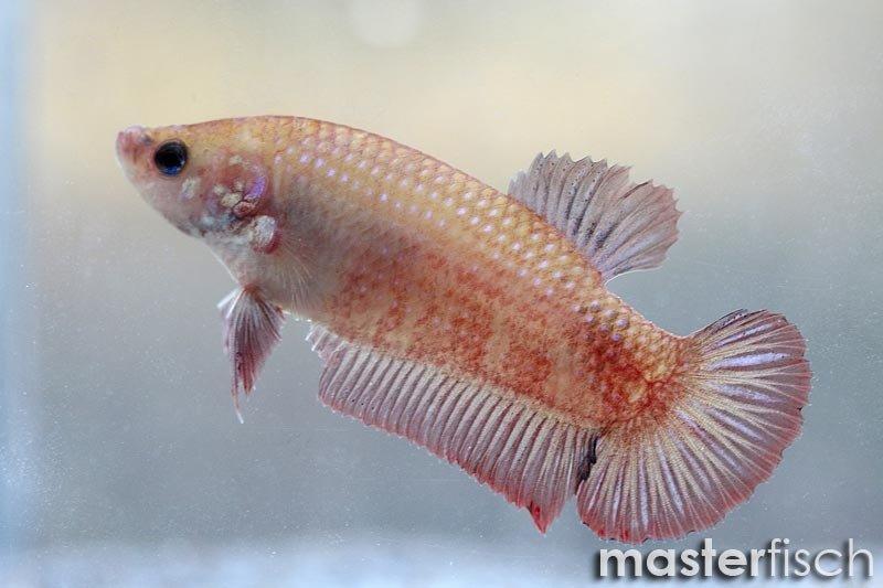 Siamesischer kampffisch giant shorttail ultra masterfisch for Siamesischer kampffisch