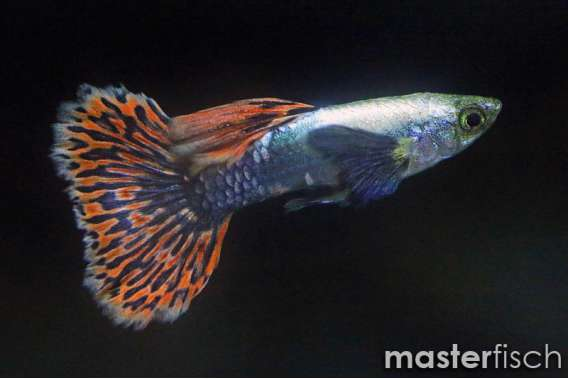 Guppy premium Chili red platinium mosaic big ear