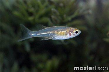Celebes-Ährenfisch