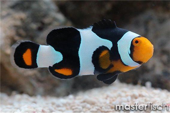 Clownfisch Snow Onyx (Nachzucht)