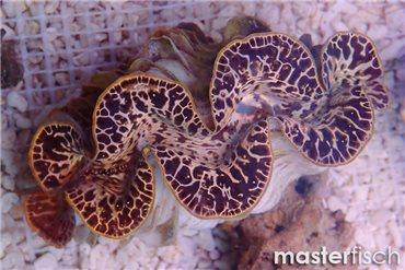Mördermuschel Maxima Gold (Zucht)