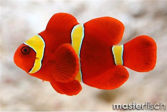 Gelbbinden-Samtkorallenfisch