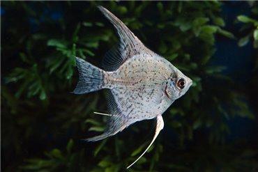 Süßwasserfische (WYSIWYG)