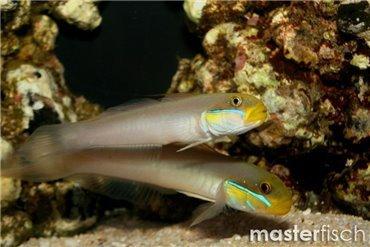 Schleimfische und Grundeln